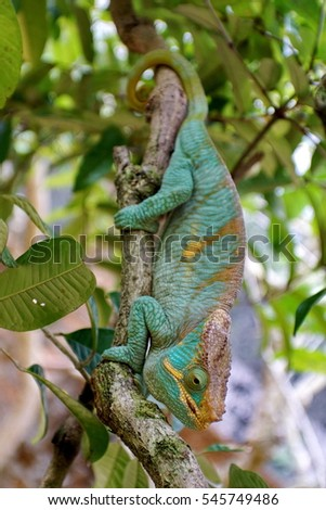 Chameleon in a tree near Andasibe, Madagascar