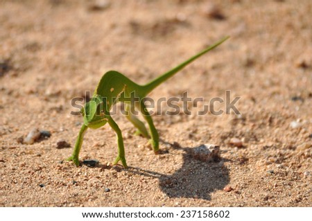 Chameleon in Africa - stock photo
