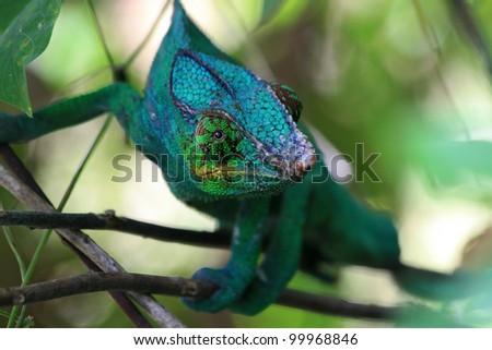 Chameleon in bush in Madagascar - stock photo