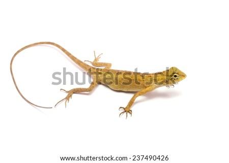 chameleon isolated on white background - stock photo
