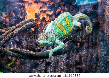 chameleon on branch against a stone background