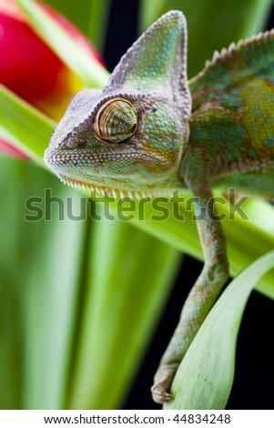 Chameleon on the leaf - stock photo