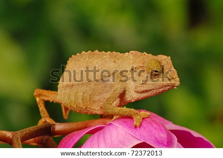 chameleon sitting on pink orchid with green background - stock photo