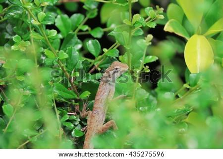 chameleon, thailand chameleon in garden, selective focus - stock photo