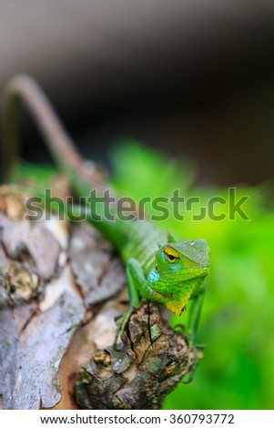 Chameleon with green head on a branch - stock photo