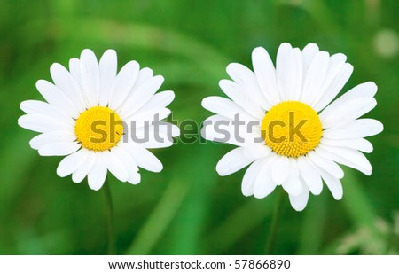 Chamomile close-up - stock photo