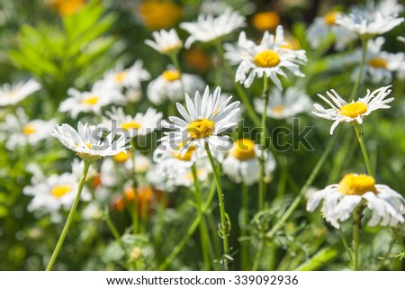Chamomile close-up on a background of green meadows - stock photo