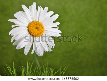 Chamomile closeup on a green background - stock photo