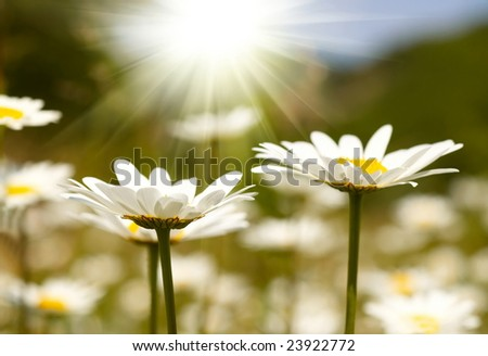 Chamomile field - stock photo