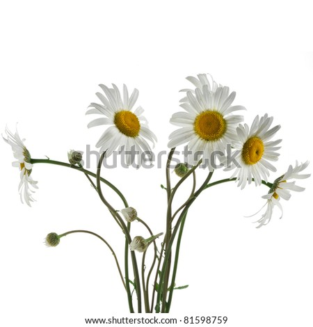 chamomile flower bouquet isolated on white - stock photo