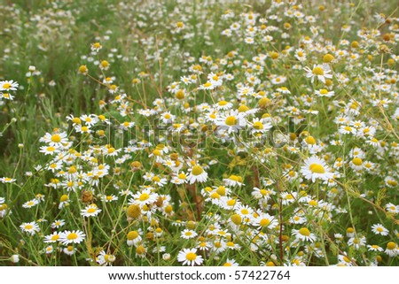 chamomile flower field in summer - stock photo