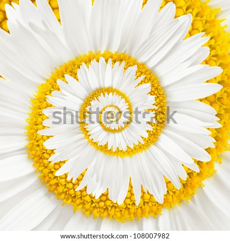 chamomile flower infinity spiral abstract background - stock photo