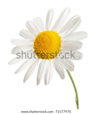 chamomile flower isolated - stock photo