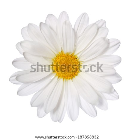 Chamomile flower isolated on white. Daisy. Macro - stock photo