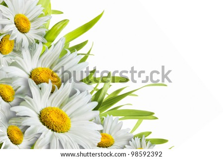 chamomile flower isolated on white greeting card - stock photo