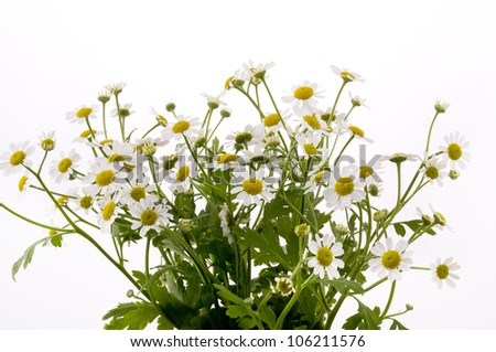 chamomile flower on white background - stock photo