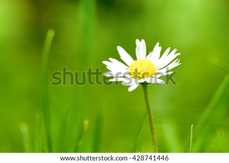 Chamomile flower over green grass.  - stock photo