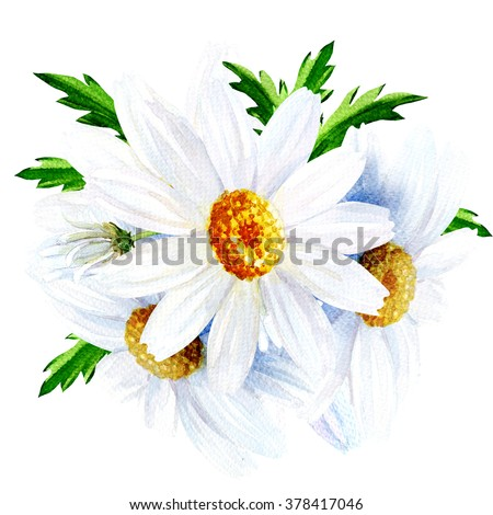 Chamomile flower with leaves isolated on a white background - stock photo