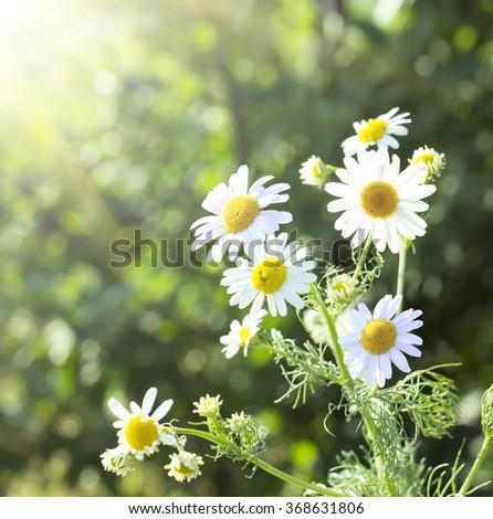 chamomile flowers  - stock photo