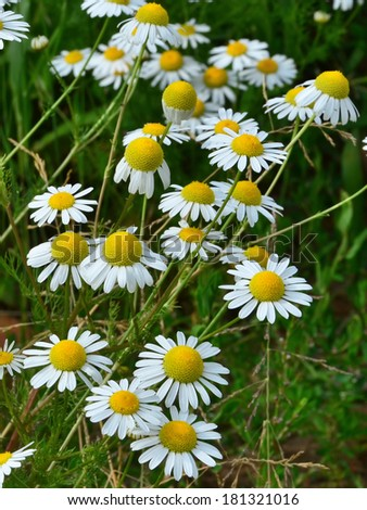Chamomile flowers field - closeup of Matricaria recutita - stock photo
