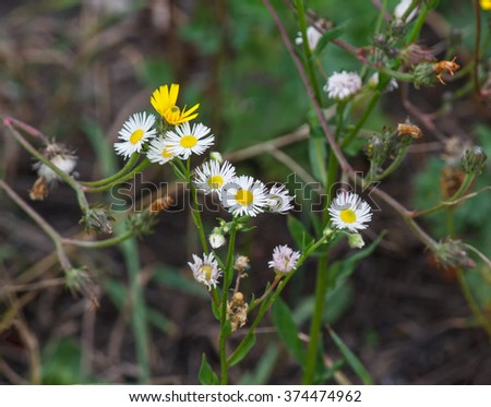 Chamomile flowers growing in the meadow. nature - stock photo