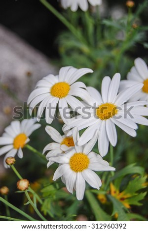 Chamomile flowers in meadow. Shallow depth of field. - stock photo