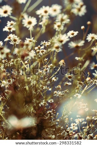 Chamomile Flowers on the meadow against sky background - stock photo