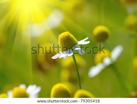 Chamomile medical - stock photo
