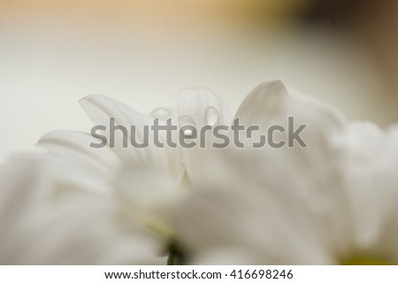Chamomile or camomile is the common name for several daisy-like plants of the family Asteraceae that are commonly used to make herb infusions to serve various medicinal purposes. - stock photo