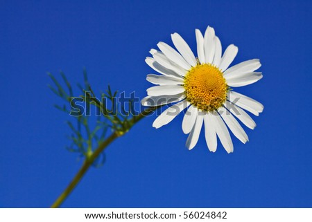 Chamomile with blue sky