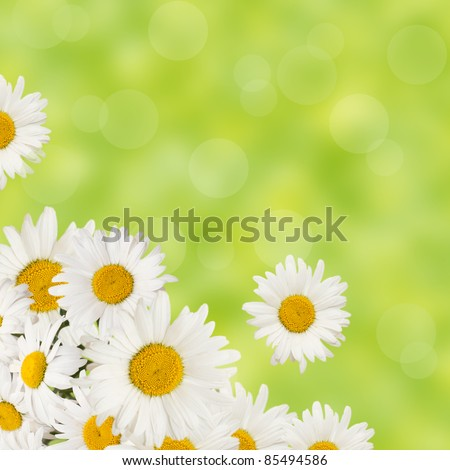 chamomiles flowers border on fresh green background