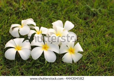 Champa flower white flower is the national flower of Laos fragrant flowers throughout the year, often with garlands. The flowers are used in religious ceremonies. - stock photo
