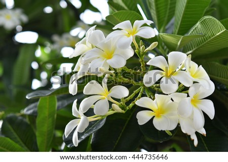 Champa or Plumeria flowers are blooming in the spring