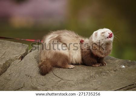 Champagne ferret female - stock photo