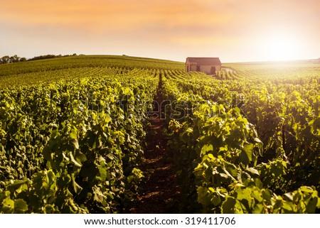 Champagne Vineyards at sunset, Montagne de Reims, France - stock photo