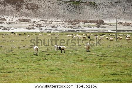 Changthangi goats grazing the pasture of Ladakah - stock photo