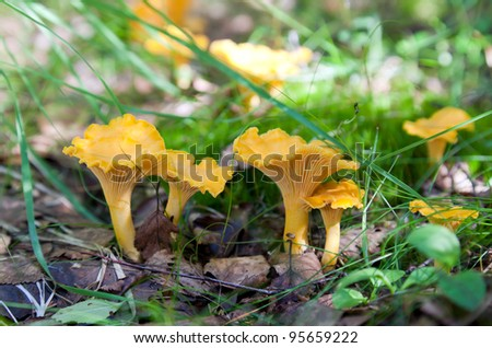 Chanterelle in the grass - stock photo