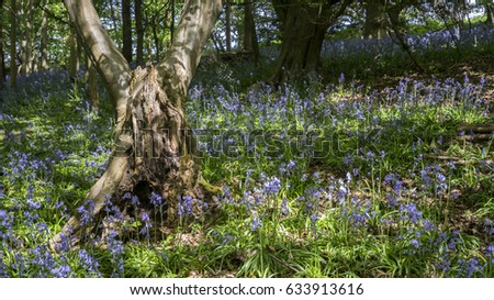Characterful tree in a bluebell wood