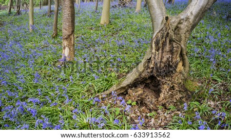 Characterful tree in a bluebell woodland scene