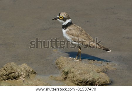 Charadrius dubius - stock photo