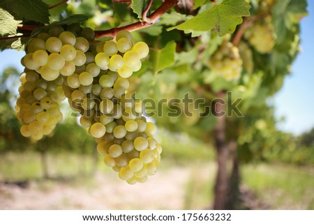 Chardonnay grapes on a vine, close-up, blurred vineyard background. - stock photo