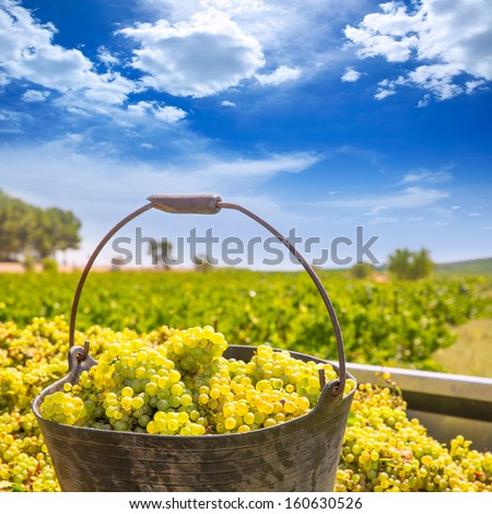 chardonnay harvesting with wine grapes harvest in Mediterranean - stock photo