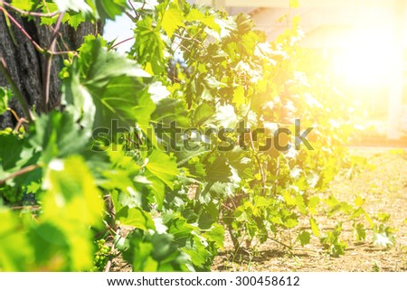 chardonnay Wine grapes in vineyard raw ready for harvest - stock photo