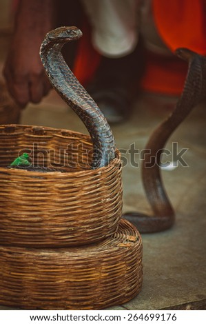 Charmed indian King Cobras in a basket - stock photo
