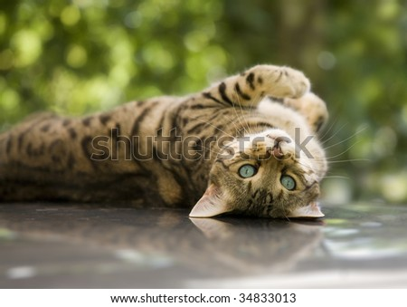 charming Bengal cat lying on his back looking at you with his piercing blue eyes - stock photo