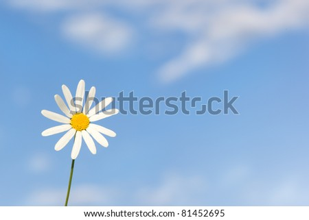 Charming camomile  against the cloudy sky