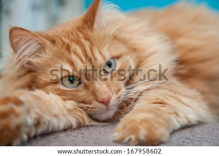 charming fluffy ginger cat lying down and resting - stock photo