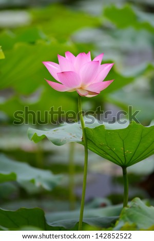 Charming lotus bloom in the pond - stock photo