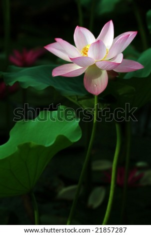 Charming lotus bloom in the pond. - stock photo