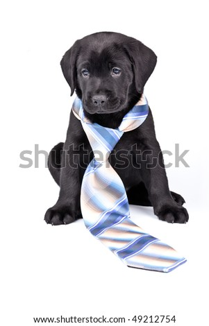 Charming puppy labrador in a necktie on a white background. See other puppies in my portfolio - stock photo